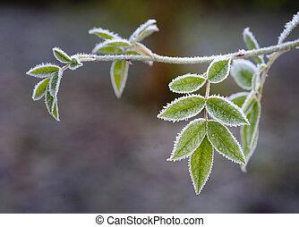 Frozen leaf of rowan tree - frozen leaves of rowan tree in ...