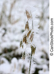 Frozen oat plant covered with ice crystals