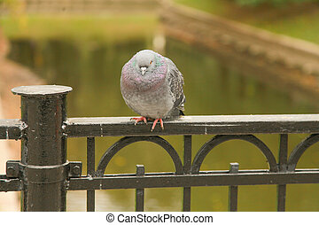 frozen pigeon sit on the fence of the bridge in the city Park in the autumn