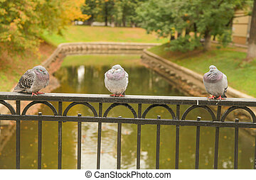 frozen pigeons sit on the fence of the bridge in the city Park in the autumn