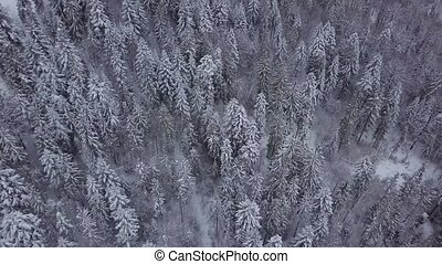 Frozen pine trees in woods - Amazing view from drone of...