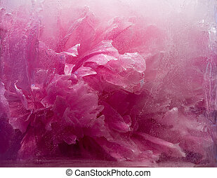 Frozen pink peony flower - Frozen beautiful pink peony...