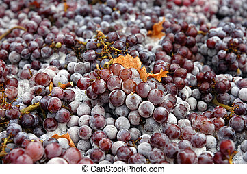 Frozen Pinot Gris grapes about to be processed to make dessert