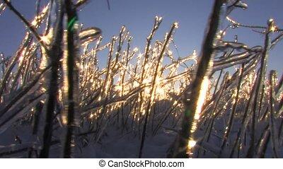 Frozen plant in winter morning