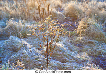 frozen plants in meadow with backlight in wintertime