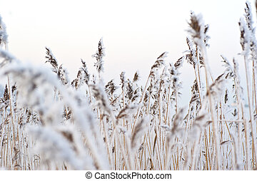 Frozen reed - A bunch of frozen reed an early winter morning