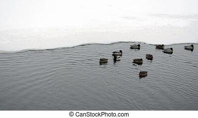 frozen river ducks water