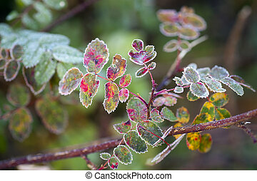 Frozen rose bush