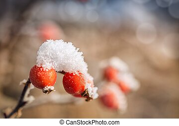 Frozen rose-hips covered with ice