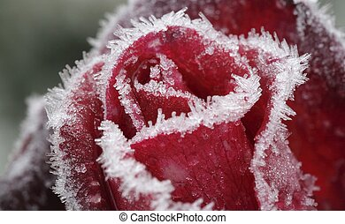 Red rose froze pieces of ice
