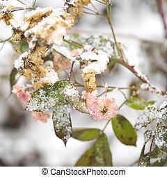 Frozen Roses In Garden
