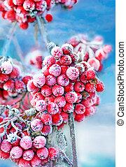 Frozen rowan berries - Red frozen rowan berries on blue sky