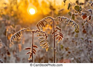 Frozen rowan branches