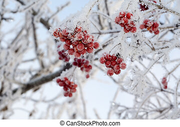 Frozen Rowan - Red rowan berries with ice crystals, winter ...