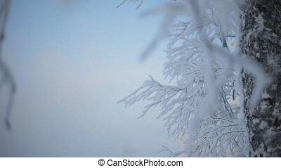 frozen snowy branches