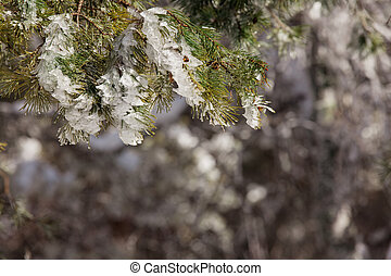 Frozen spruce branch against the background of the forest