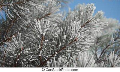 Frozen Tree Needles - Frozen tree needles in sunny winter...