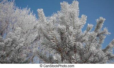 Frozen Tree Needles - Beautiful frozen tree needles in sunny...