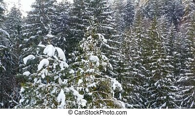 Frozen trees and snow covered evergreen forest.