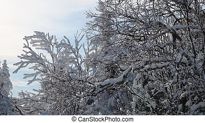 Frozen trees on top of the mountain