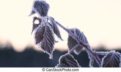 Frozen twig of raspberries in winter