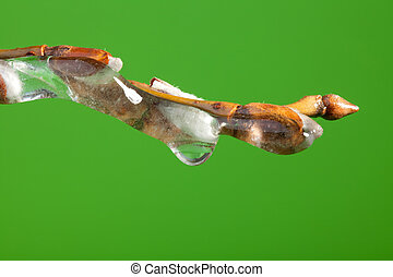 Frozen twig with buds