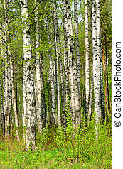 fruehjahr, bäume, birke