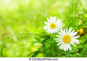 fruehjahr, gänseblumen, -, bestand, bild