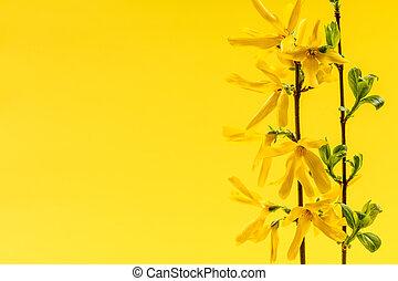 fruehjahr, gelber hintergrund, mit, forsythie, blumen