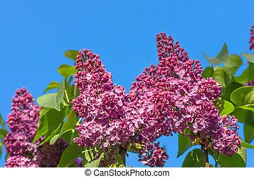 fruehjahr, lila, violette blüten, weich, blumen-, hintergrund