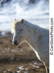 fruehjahr, pferd, isländisch, weißes, porträt