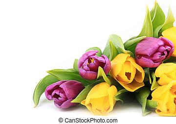 fruehjahr, tulpen, freigestellt, auf, a, weißer hintergrund