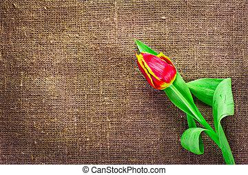 fruehjahr, tulpenblüte, blume, freigestellt, auf, leinen, segeltuch, hintergrund