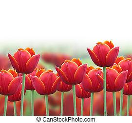 fruehjahr, tulpenblüte, blume, hintergrund