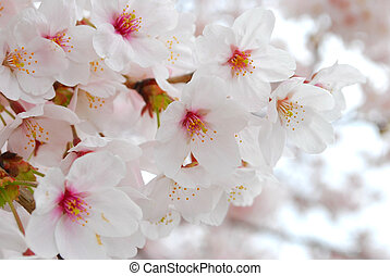 fruehjahr, während, blüten, kirschen