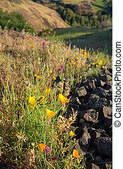 fruehjahr, wildflowers, in, ländlich, kalifornien