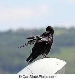 frugilegus, krassen, itself, corvus