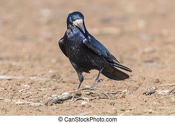 frugilegus), rook, (corvus, akker
