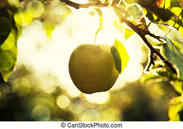 Fruit apples in the light of the sun