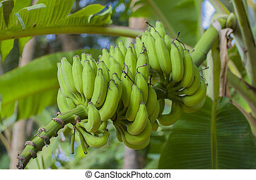 fruit bananas on a branch green