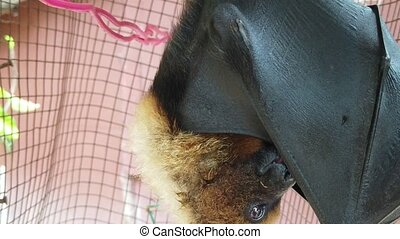 Fruit bat cleaning its wings - Close up of Fruit bat of...