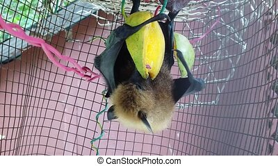Fruit bat eating mango - Fruit bat of Seychelles hanging...