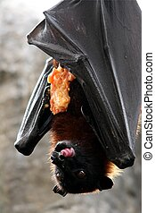 Fruit Bat Eating - Fruit bat also known as flying fox
