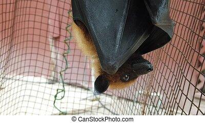 Fruit bat hanging down - Flying fox bat of Seychelles...