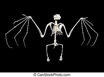 Fruit Bat Skeleton - Skeleton of a fruit bat, often called...
