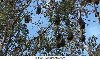 Fruit Bat Trying To Get Comfortable Upside Down - Steady,...