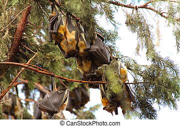 Fruit Bats at Rest in Kigali, Rwanda