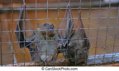 fruit bats hanging in cage in zoo - Closeup shot fruit bats...