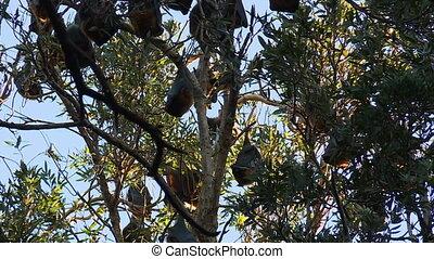 Fruit Bats Hanging In Swaying Tree - Steady, medium close up...