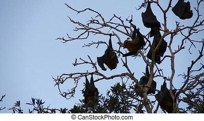 Fruit Bats Sleeping, Then Awakened - Steady, medium close up...